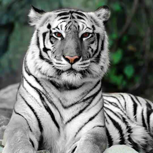 tijger _rode_ogen