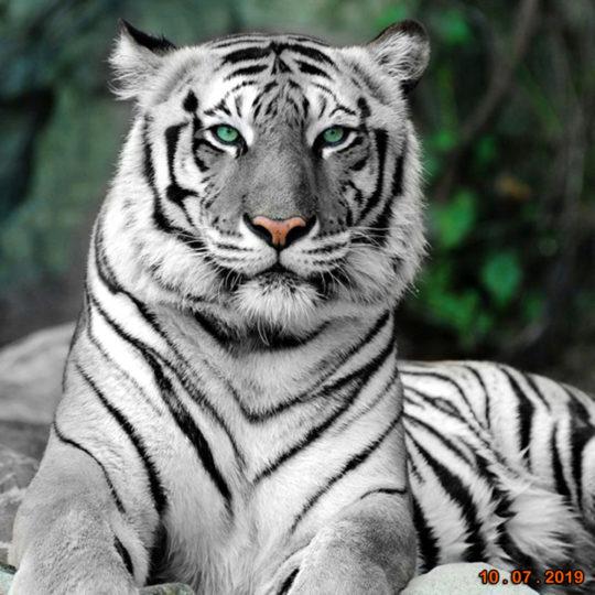 tijger_met datum