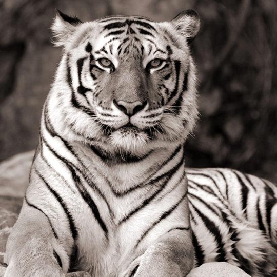 tijger_sepia