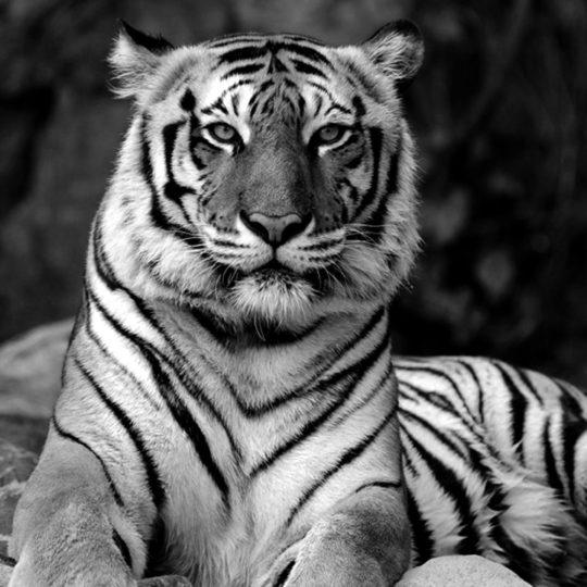 tijger_zwart_wit